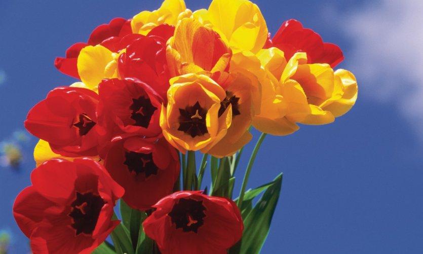 Les Pays-Bas, premier pays producteur de tulipes.