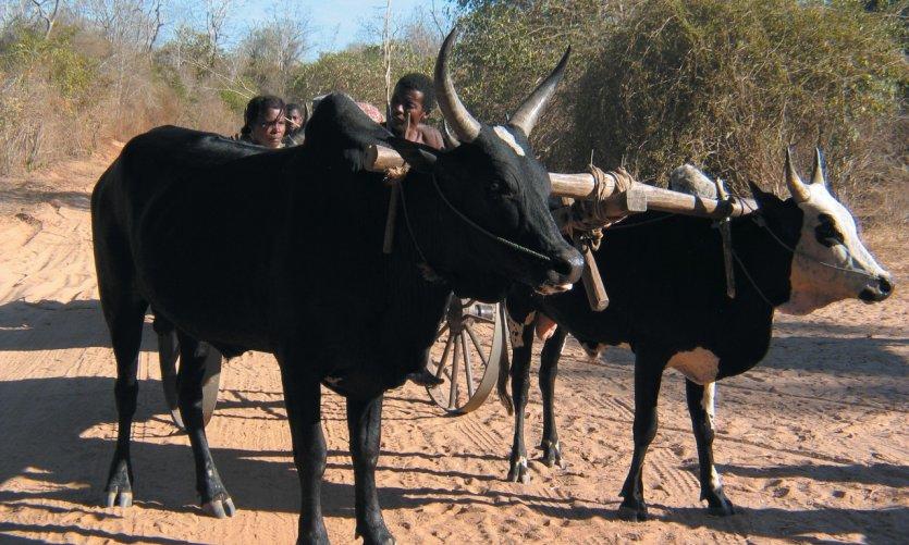 Carro de cebú, carretera entre Belo-sur-Tsiribihina y Morondava