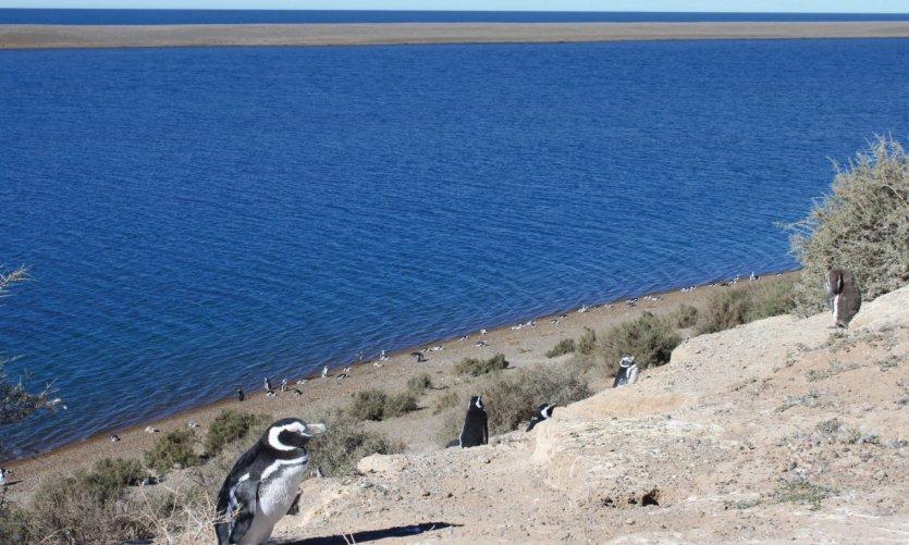 Pingouins de Magellan à Caleta Valdés.