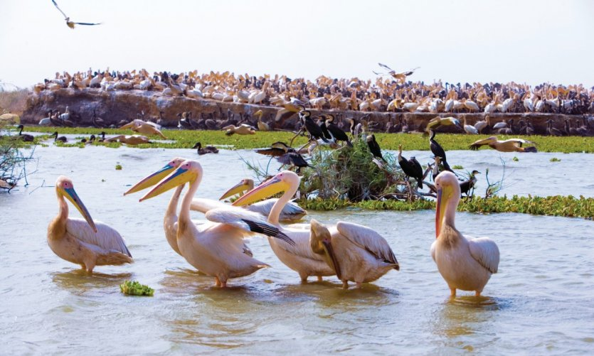 <p>Pélicans dans le parc national du Djoudj.</p>