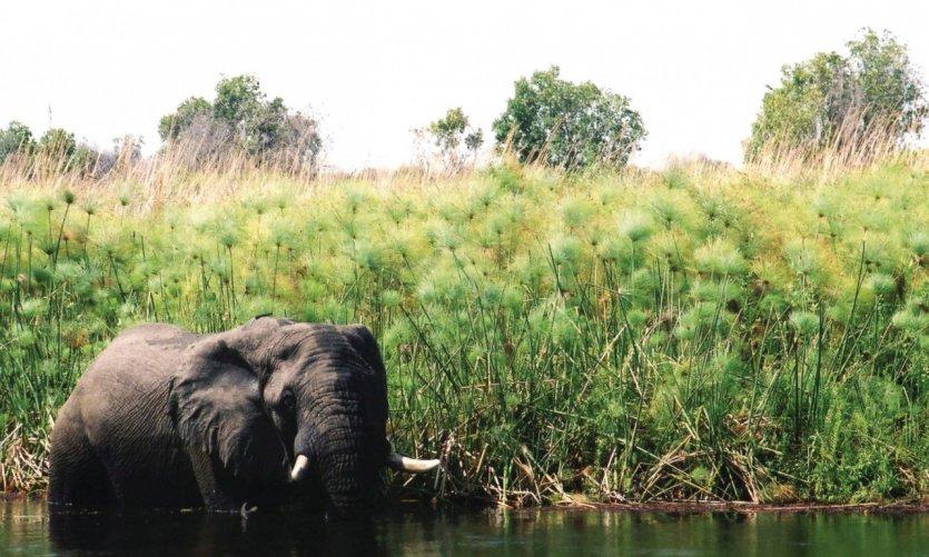 Éléphant dans le lagon de Xakanaxa.