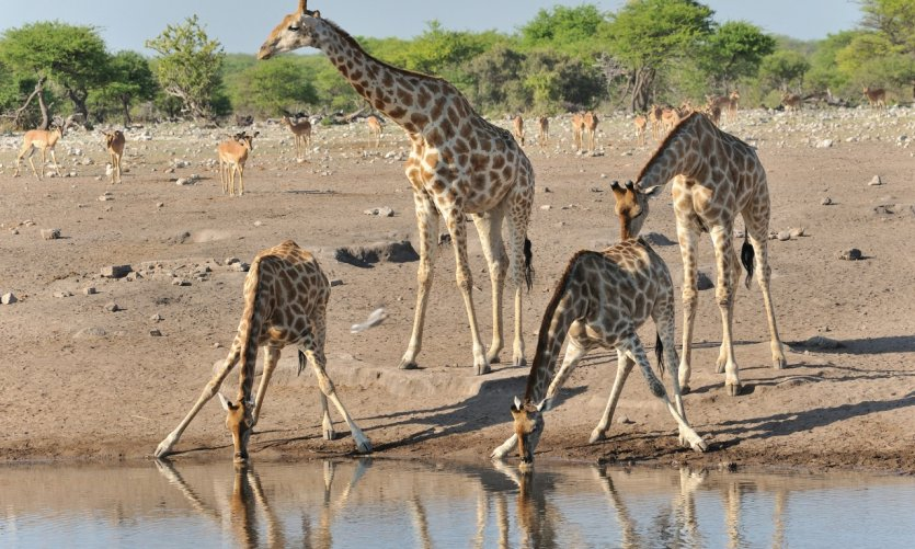 Communauté de girafes du Etosha National Park.