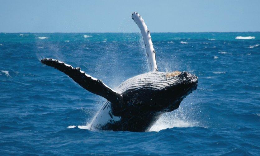 Baleine.