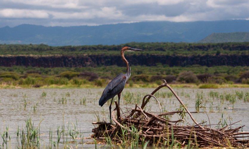 Héron goliath sur le Lac Baringo.