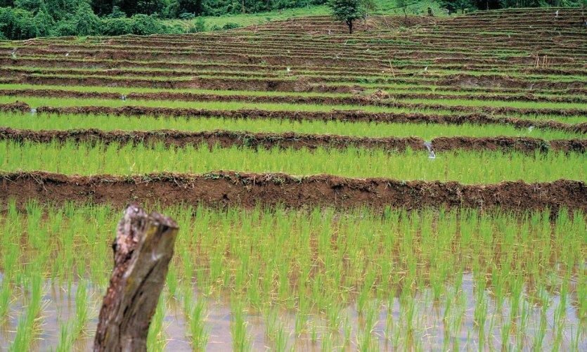 La culture du riz représente une place très importante en Thaïlande.