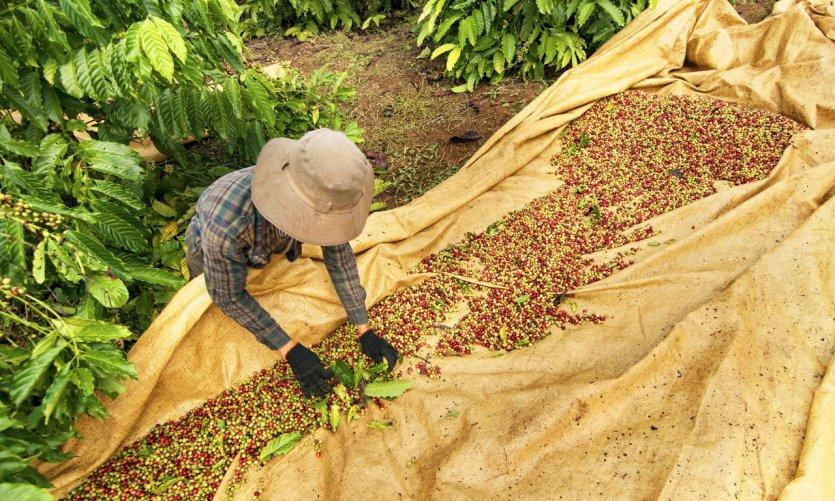<p>Plantación de café en Buôn Ma Thulotte.</p>