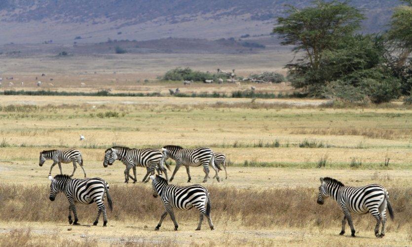 Troupeau de zèbres dans l'aire de conservation du Ngorongoro