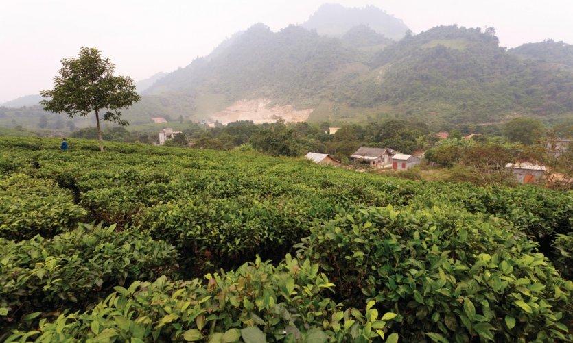 Plantation de thé dans la région de Coc Ly.
