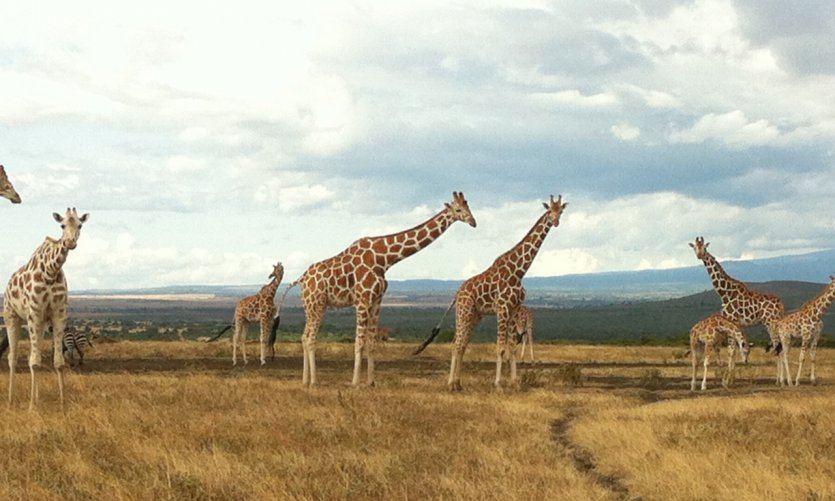 Marche avec les nombreuses giraffes.