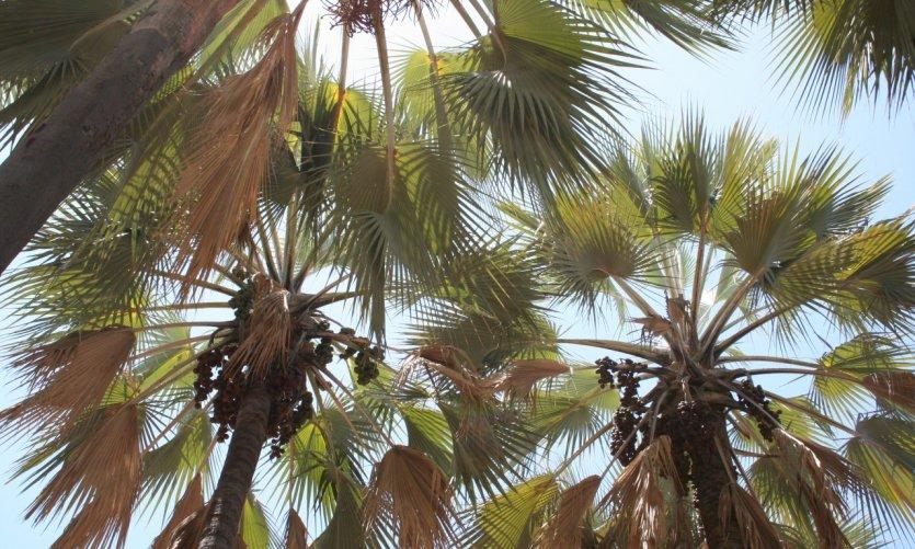 Noix de palmiers, makalani.