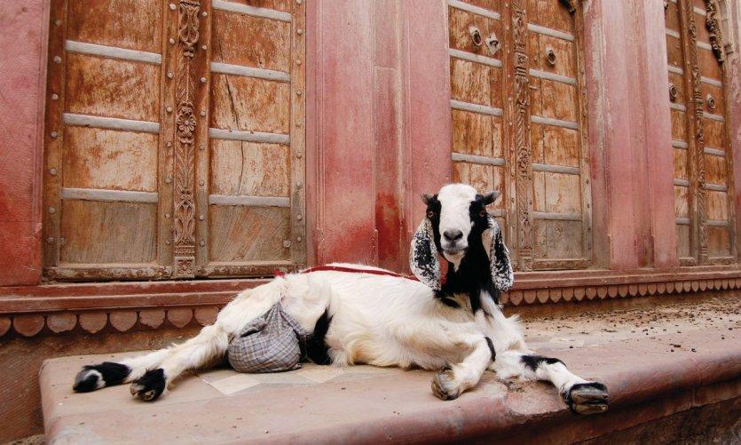 Chèvre dans la vieille ville de Bikaner.