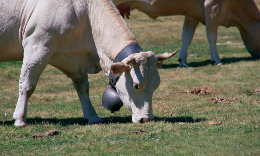 Vache des Hautes-Pyrénées