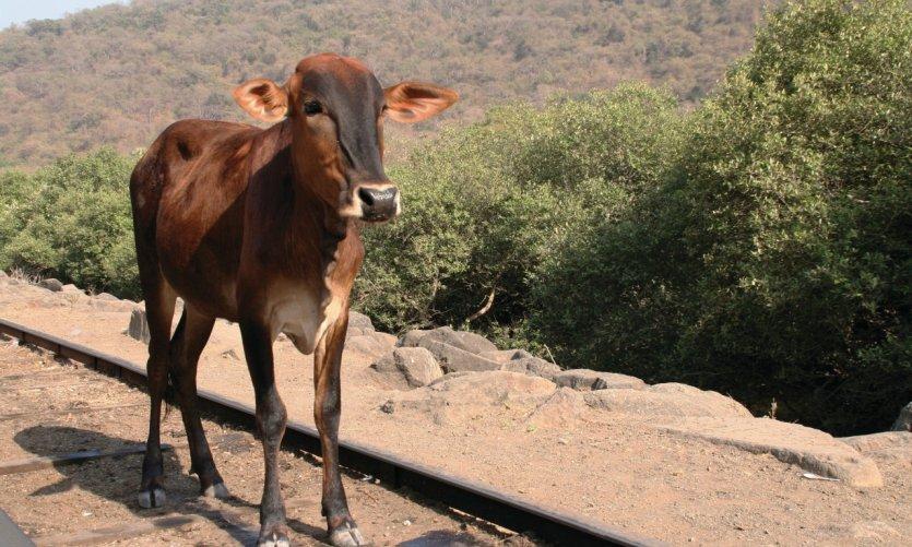 <p>Jeune vache en promenade sur l'île des grottes d'Elephanta.</p>