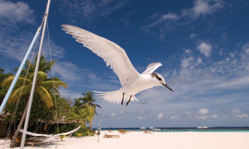 Oiseaux survolant Vabbinfaru.