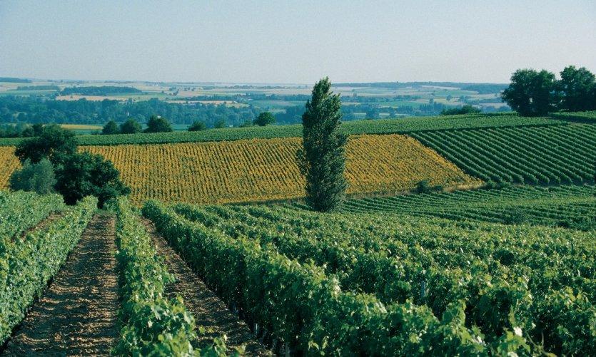 Paysage de vigne et de champs près de Chinon