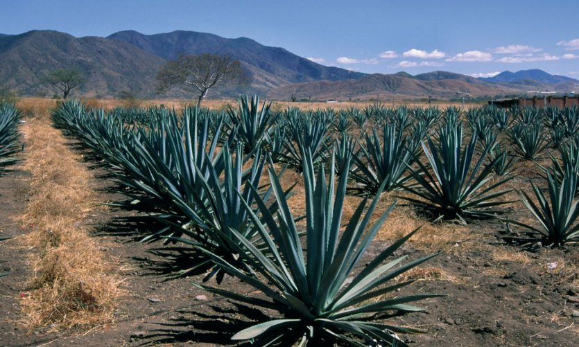 Champs d'agaves.