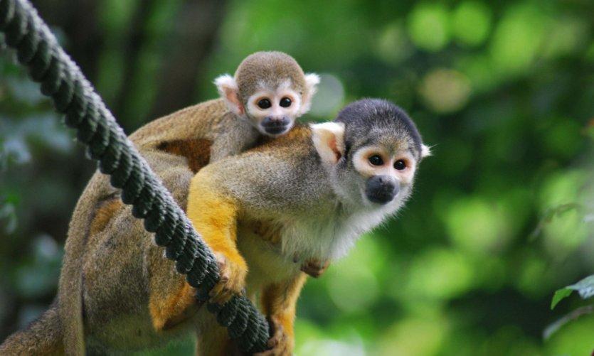 bébé saimiri de la vallée des singes.
