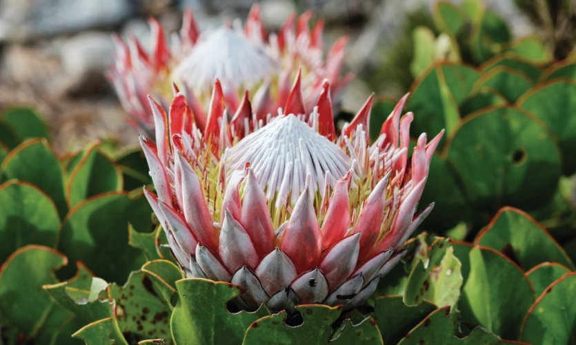 Protea, emblème national de l'Afrique du Sud