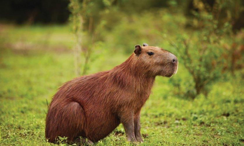 Capibara en la reserva de Santa Rosa, la pampa cerca de Rurrenabaque.