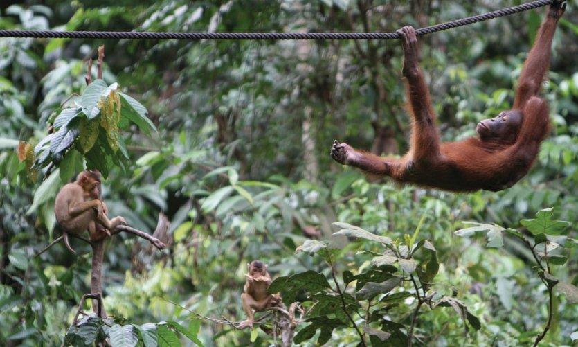 Centre de réhabilitation des orangs outans de Sepilok