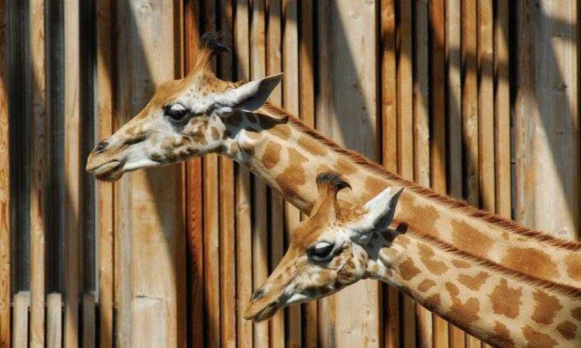 Les girafes du Jardin zoologique de Lyon.