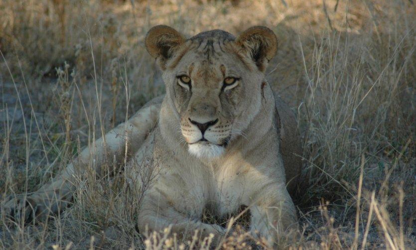 Lionne dans le Kalahari.
