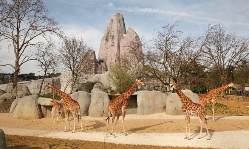 Girafes de la biozone Sahel-Soudan.