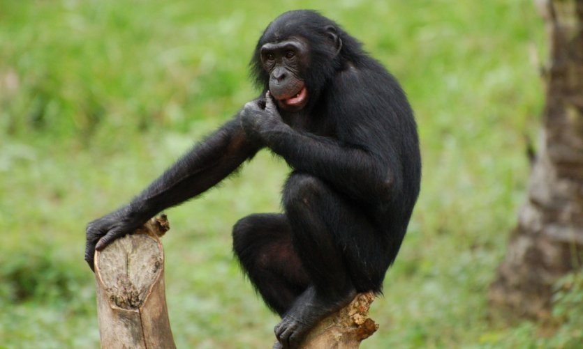 Bonobo de la vallée des singes.