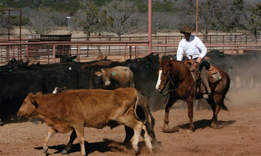 Cow-boy au milieu de jeunes taureaux.