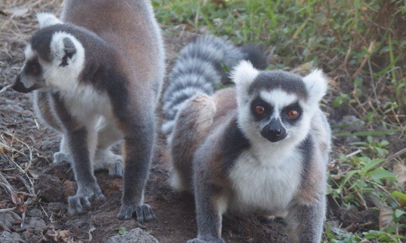 <p>Lémuriens de la Selva d'Anja.</p>