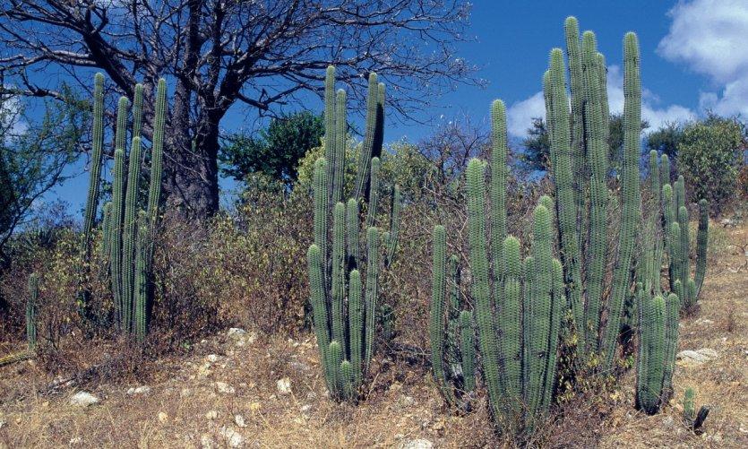 Les cactus font partis du paysage mexicain.
