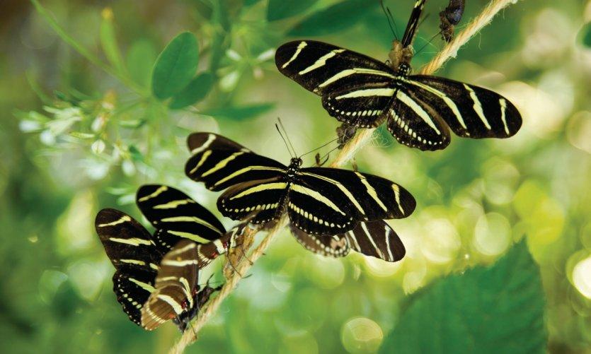 Heliconius charitaonia (mariposa oficial del estado de Florida) en Nápoles Botanical Garden.