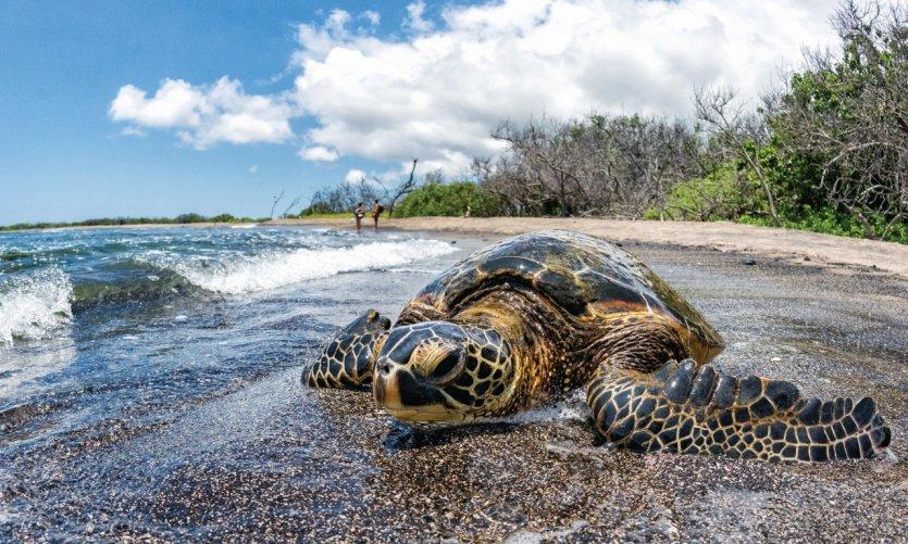 <p>Tortuga de Kailua-Kona.</p>