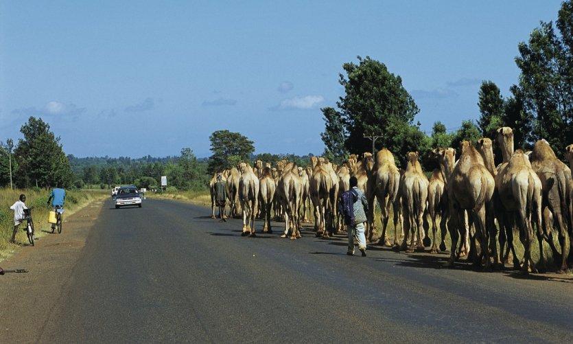 entre Nairobi et Il Ngwesi, caravane de dromadaires