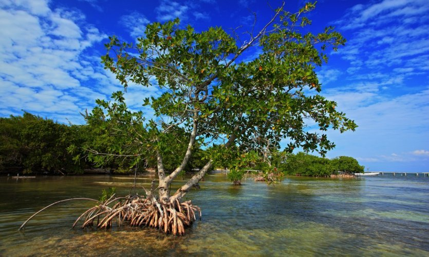 Mangrove, Belize.