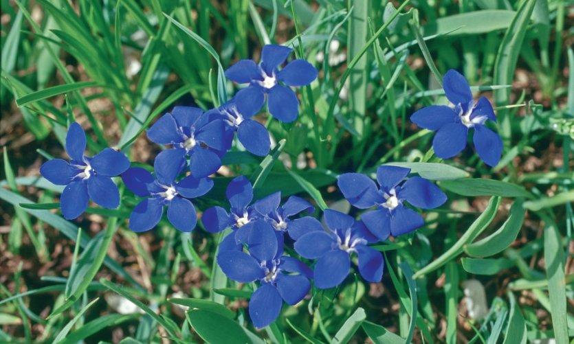 Fleurs de gentiane