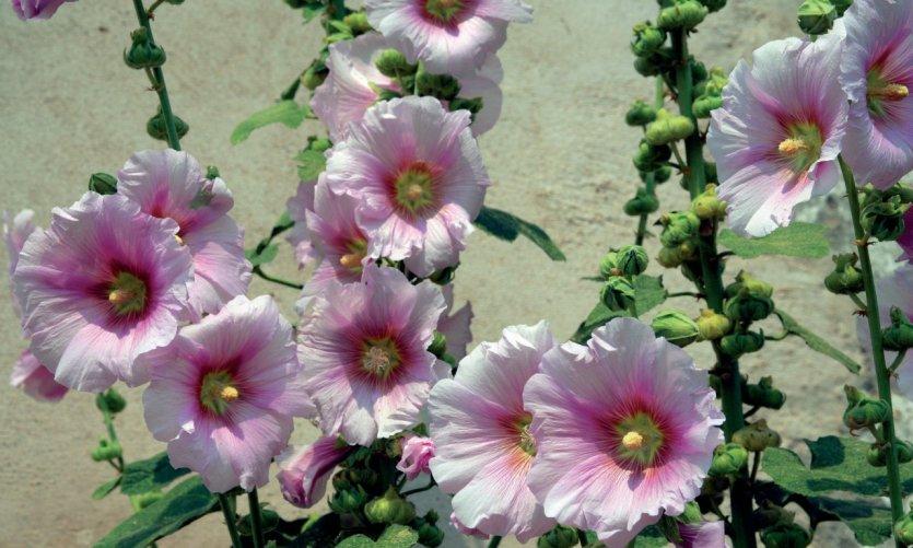 Roses trémières - Ile d'Oléron