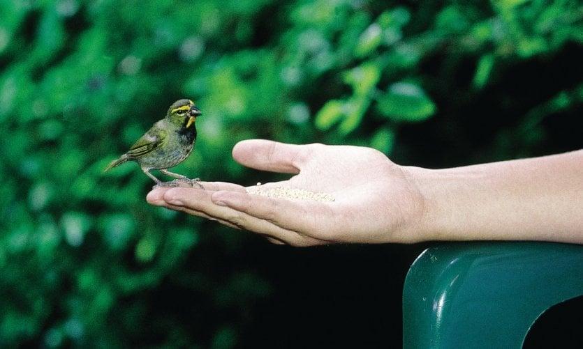 Mêmes les oiseaux portent les couleurs de la Jamaïque.