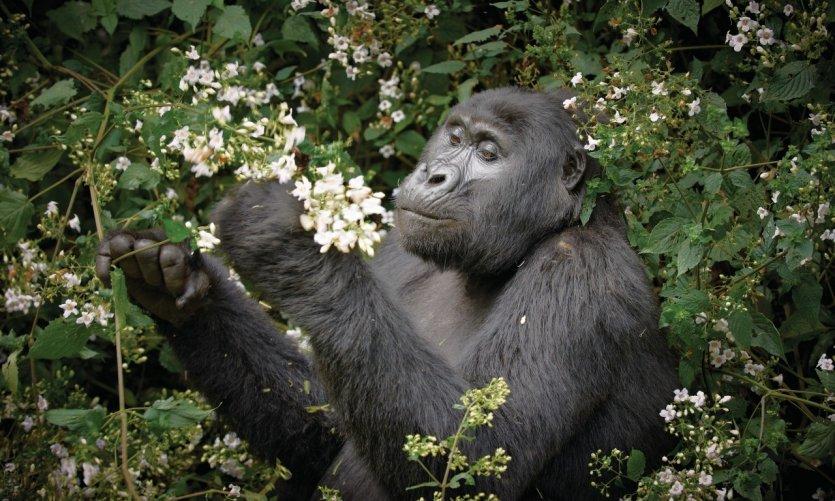 Gorille de la forêt impénétrable de Bwindi.
