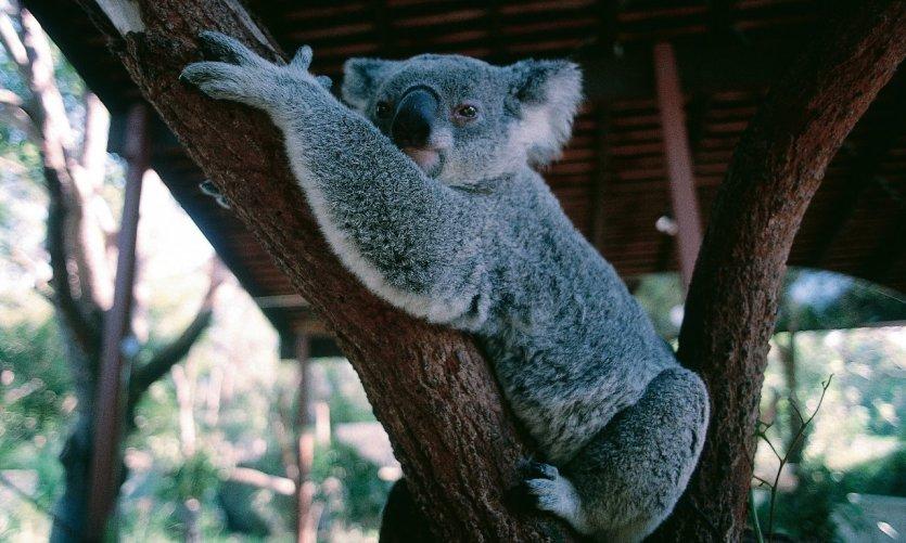 Koala du zoo de Sydney.