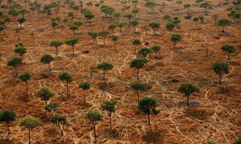 Vue aérienne d'une forêt d'acacias dans le Parc National de Zakouma.