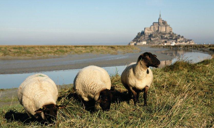 Mouton de près-salé devant le Mont-Saint-Michel.