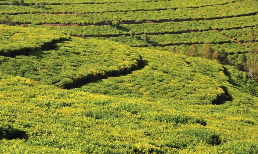 Plantation de thé à Teza.