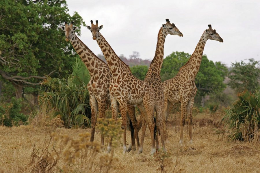 La girafe est le symbole du pays, et les Tanzaniens en sont fiers. (© Arnaud BEBIEN))