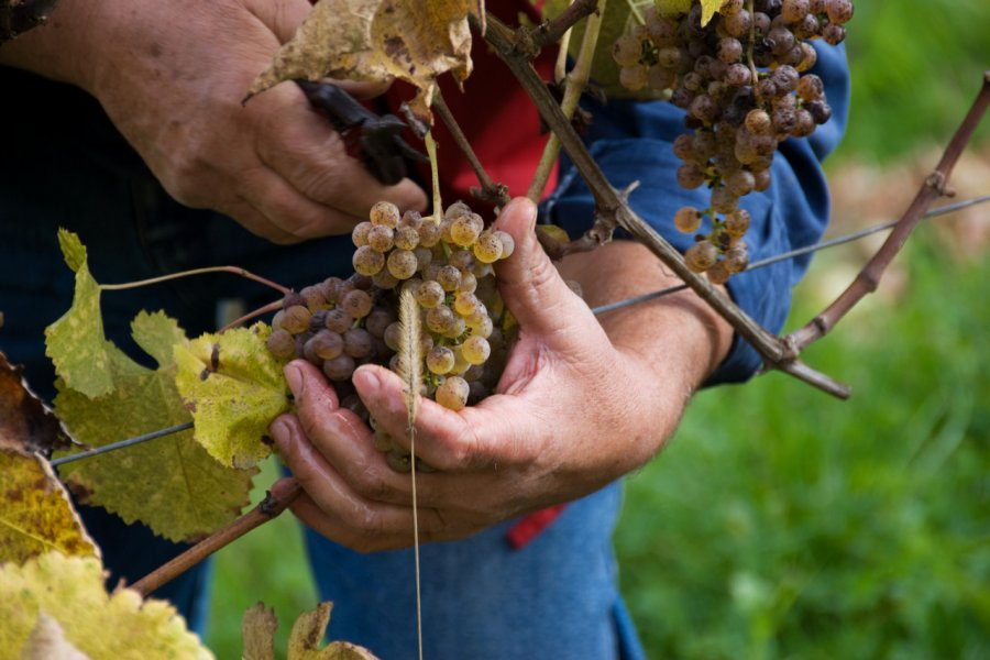 Vendanges dans le vignoble de Jurançon. (© Alison Cornford  - stock.adobe.com))