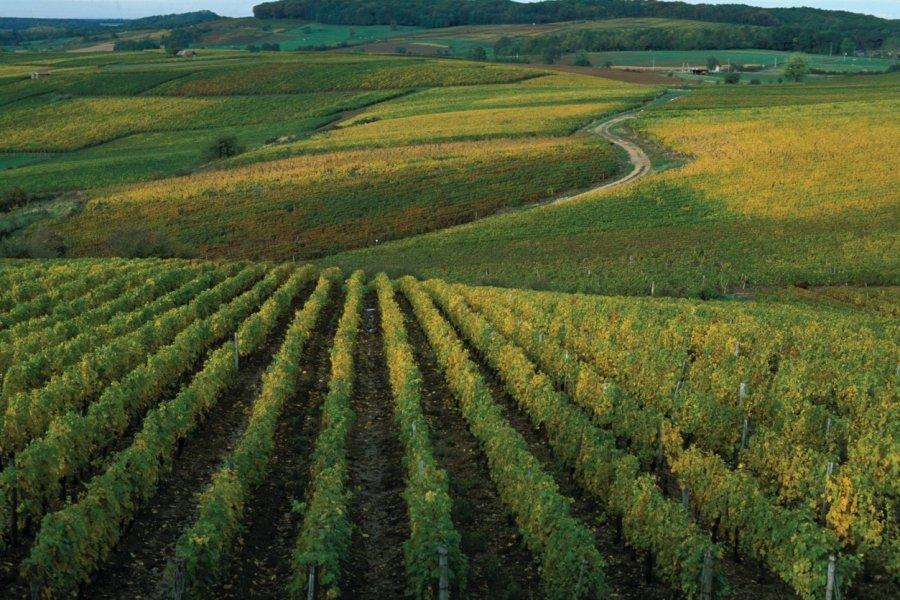 Vignoble près d'Arbois (© PIERRE DELAGUÉRARD - ICONOTEC))