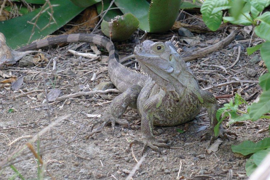 Iguane. (© Jean Charles Dusanter))