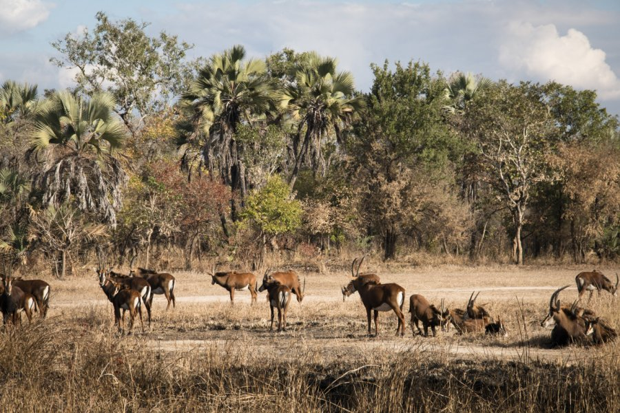 Waterbucks dans la savane du parc national de Gorongosa. (© waldorf27 - Fotolia))