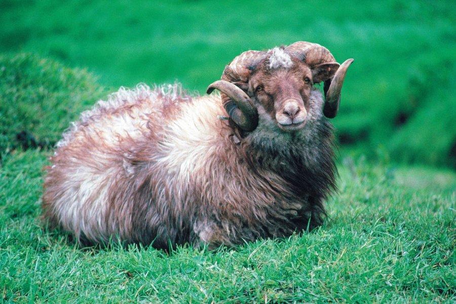 Bélier de l'île de Streymoy.)