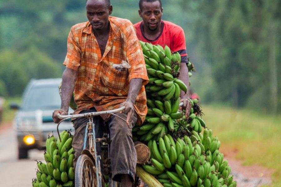 La banane est un fruit très consommé en Ouganda. (© GUDKOV ANDREY - Shutterstock.com))